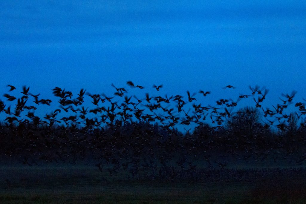 Geese Taking Flight, photo by artist Emily Miller